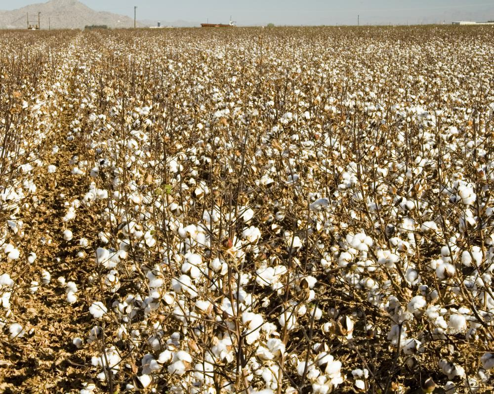 Cotton field ready to be harvested.
