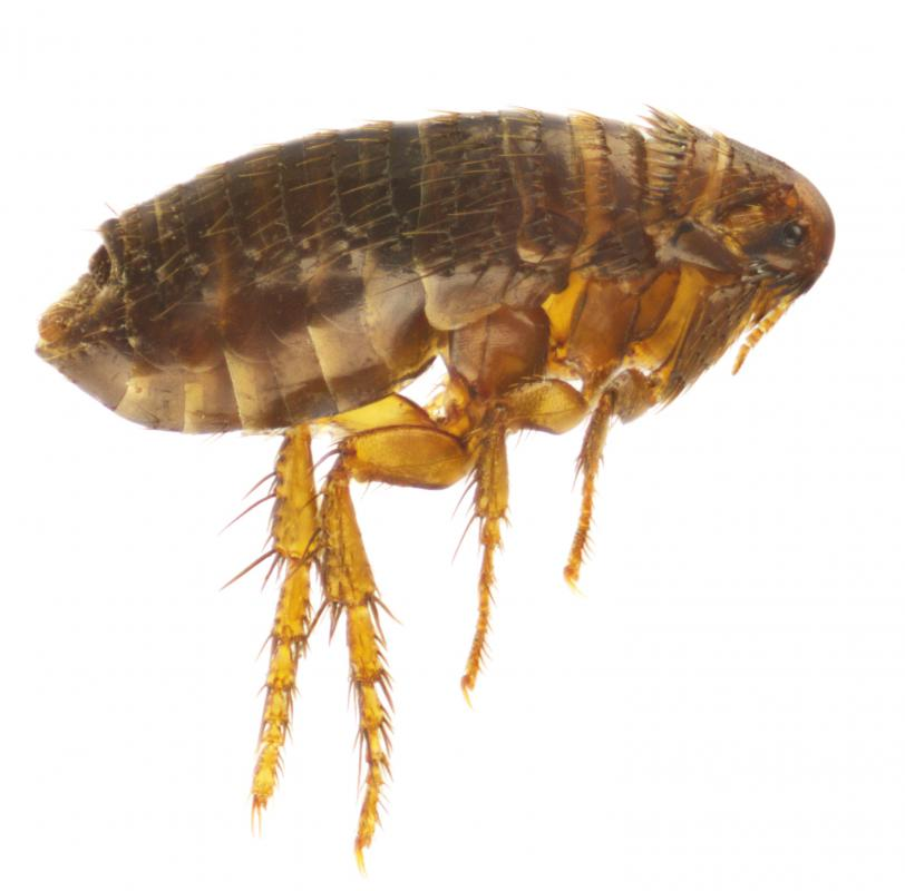 It is more difficult to spot fleas on a pet with thick fur.