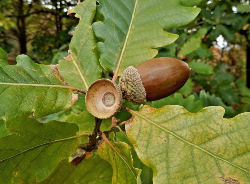 The official tree of Iowa is the oak tree, which produces tens of thousands of acorns each year.