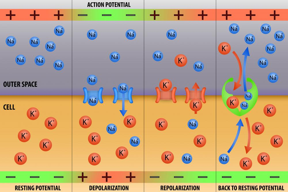 Hyperpolarization, depolarization, and repolarization of a neuron are all caused by the flow of ions, or charged molecules, in and out of the cell.