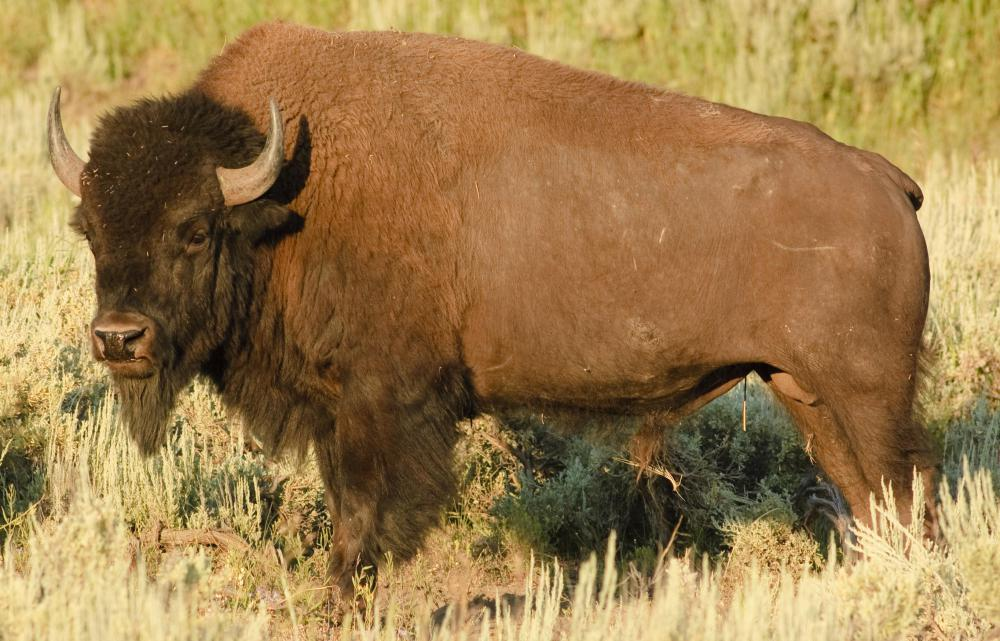 Ojibwa Indians living on the plains ate primarily buffalo meat.