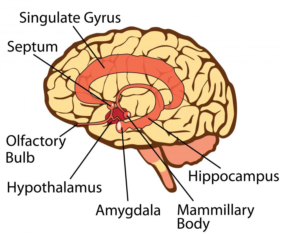 The amygdala is the emotional center of the human brain and can create split-second responses when a person is threatened.