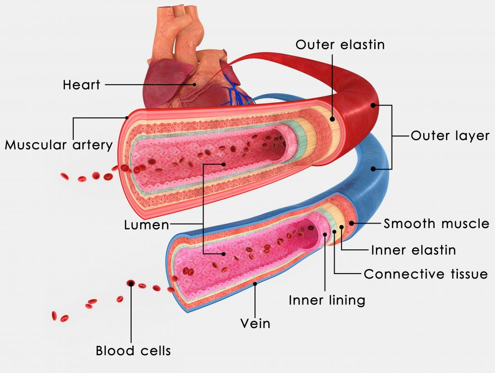 In perfusion, blood moves from the heart, through a network of arteries and into the smallest blood vessels in the body.