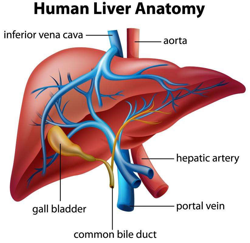 The liver transfers bilirubin to the intestines and gall bladder as the substance makes its way out of the body.