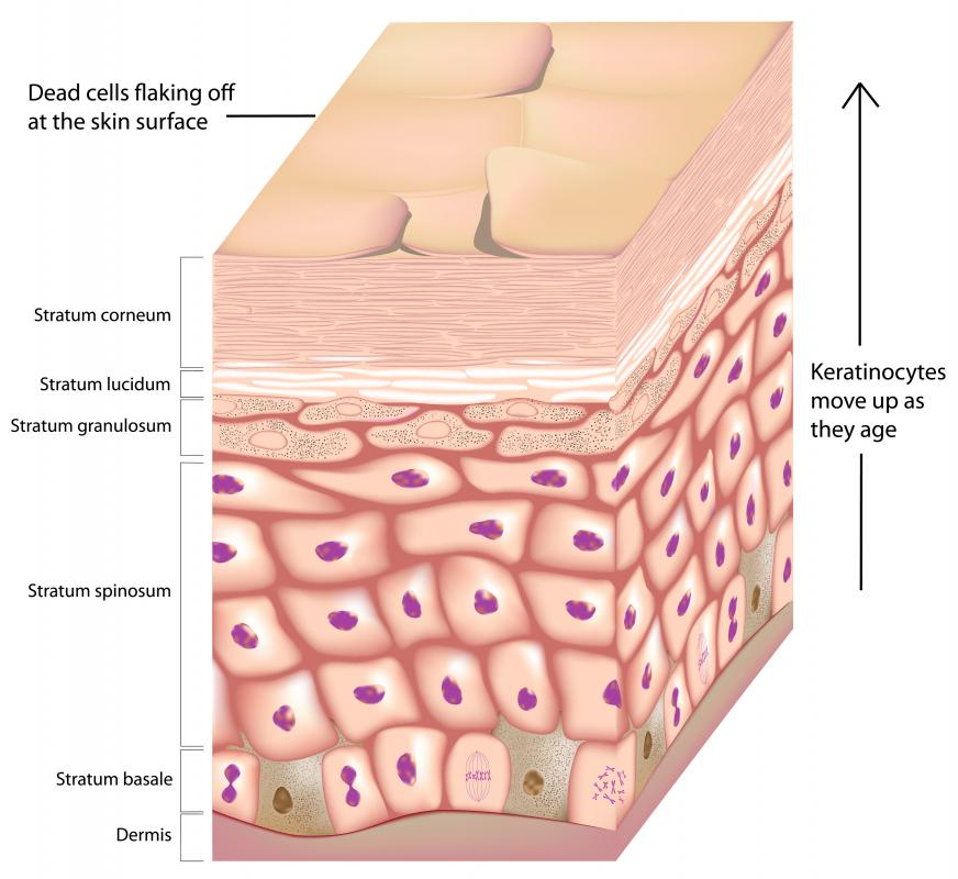The stratum lucidum lies below the stratum corneum, or outer layer of skin.