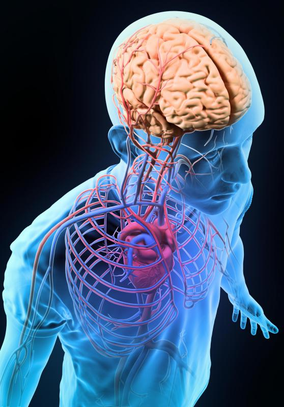 The internal carotid arteries provide blood to the front of the brain.