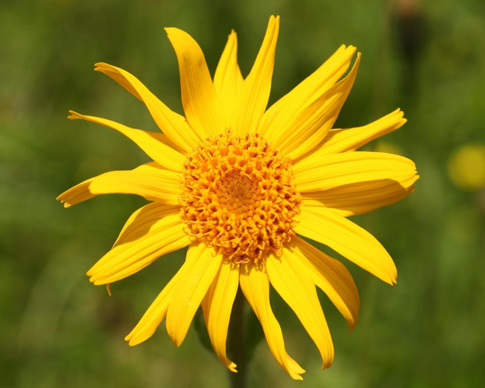 Arnica plants have bright yellow flowers that grow in radial heads.