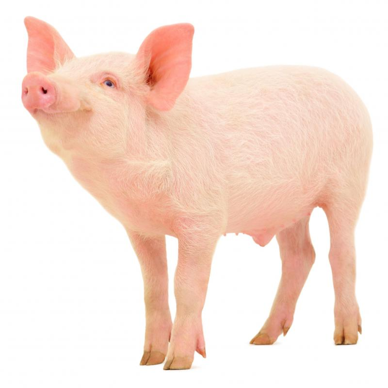 Blood from pigs could theoretically be used in humans, but the processing needed to make it usable is prohibitively expensive.