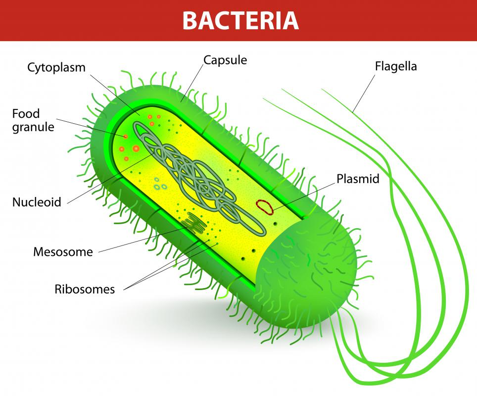 Most bacteria can be classified into either Gram-positive or Gram-negative bacteria, reflecting key differences in their cell walls.