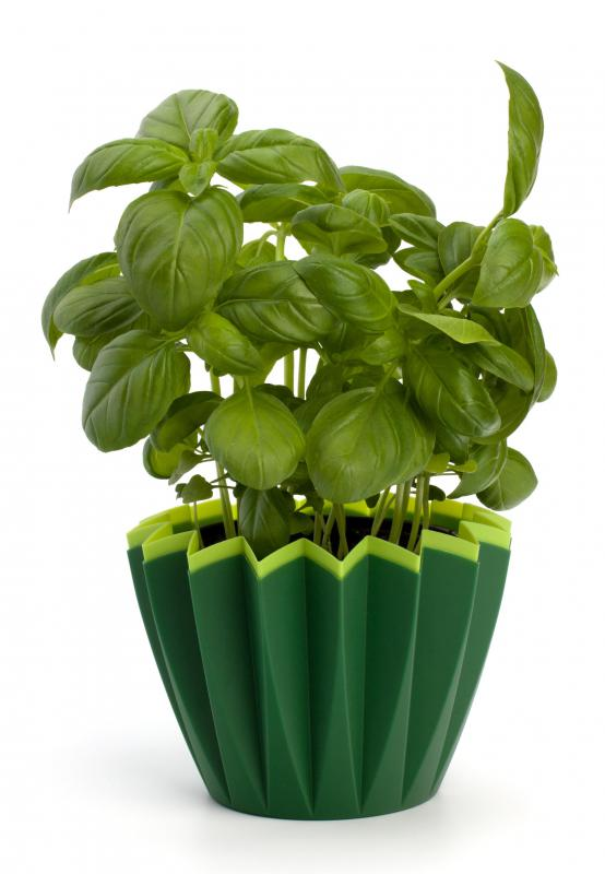 Oil made from basil leaves is used as part of the raindrop technique.