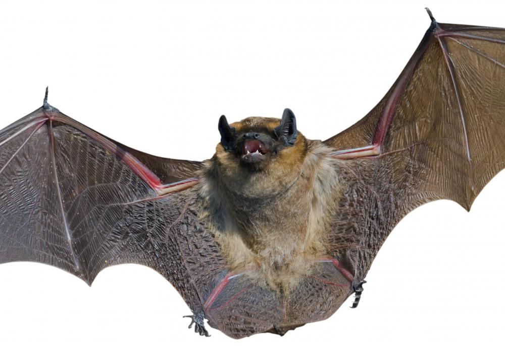 The wings of bats and birds are very similar, although the two are only distantly related.