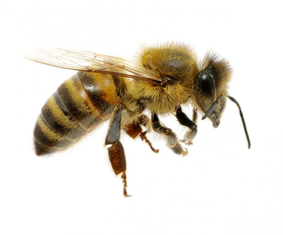 Emergency care is necessary if someone allergic to bees is stung by the insect.