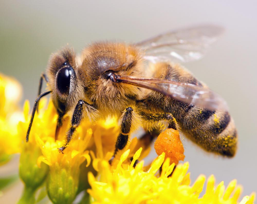 Conditioned response theory was used to determine that honeybees can tell color difference.