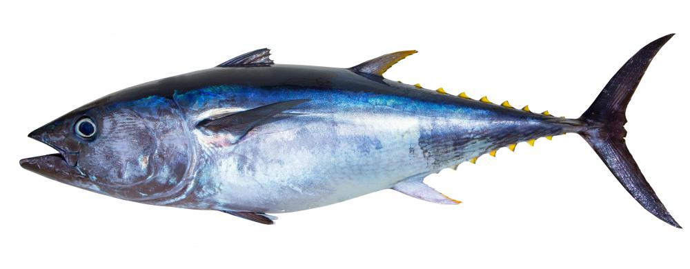 Some species of tuna -- which provides the popular canned, dried, and fresh fish -- can grow more than six feet long and weigh hundreds of pounds.