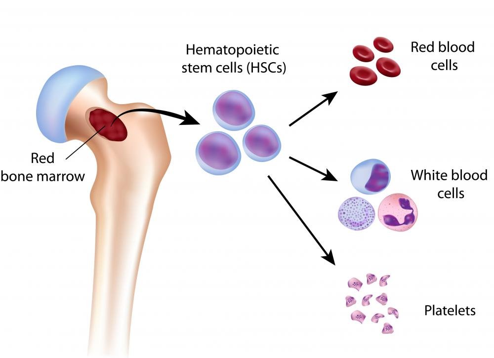Red blood marrow is one of the two categories of bone marrow, along with yellow.