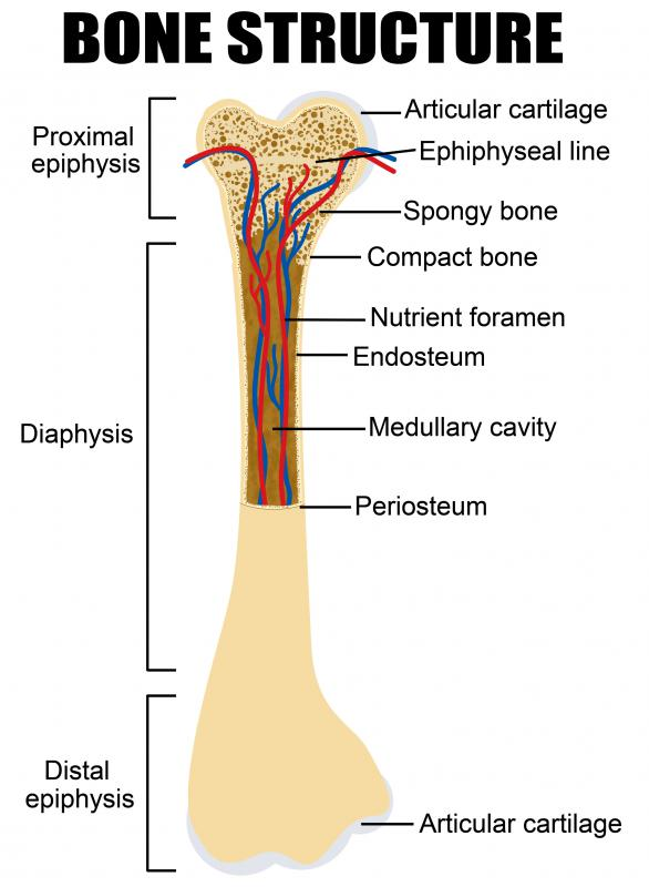 The metaphysis is a part of each long bone located between the diaphysis and the epiphysis, or end, of the bone.