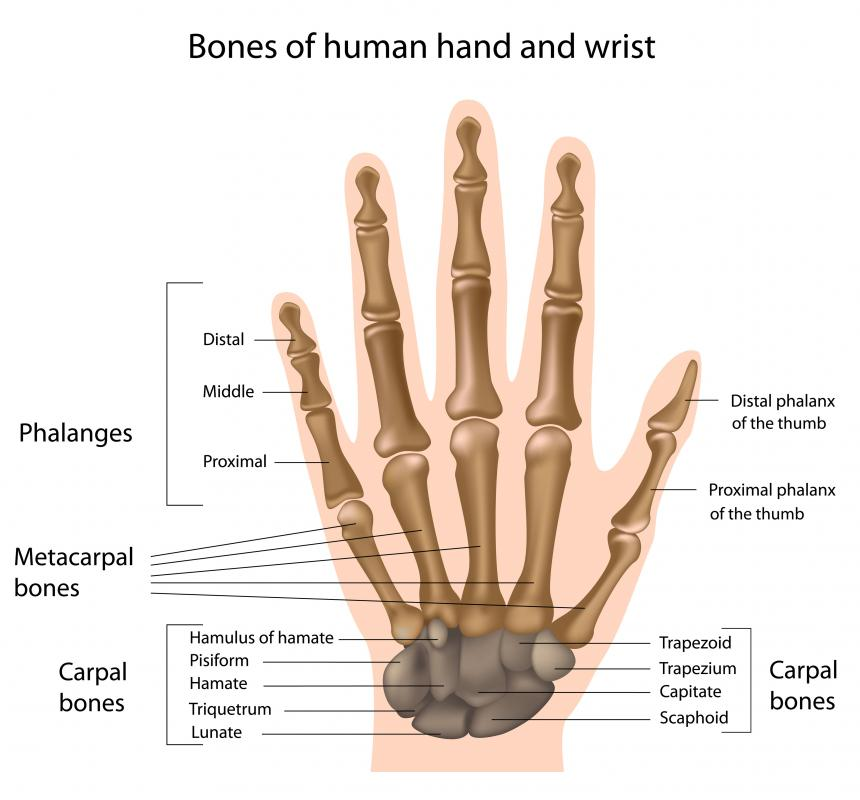 The carpal tunnel is a small space between the carpal bones.