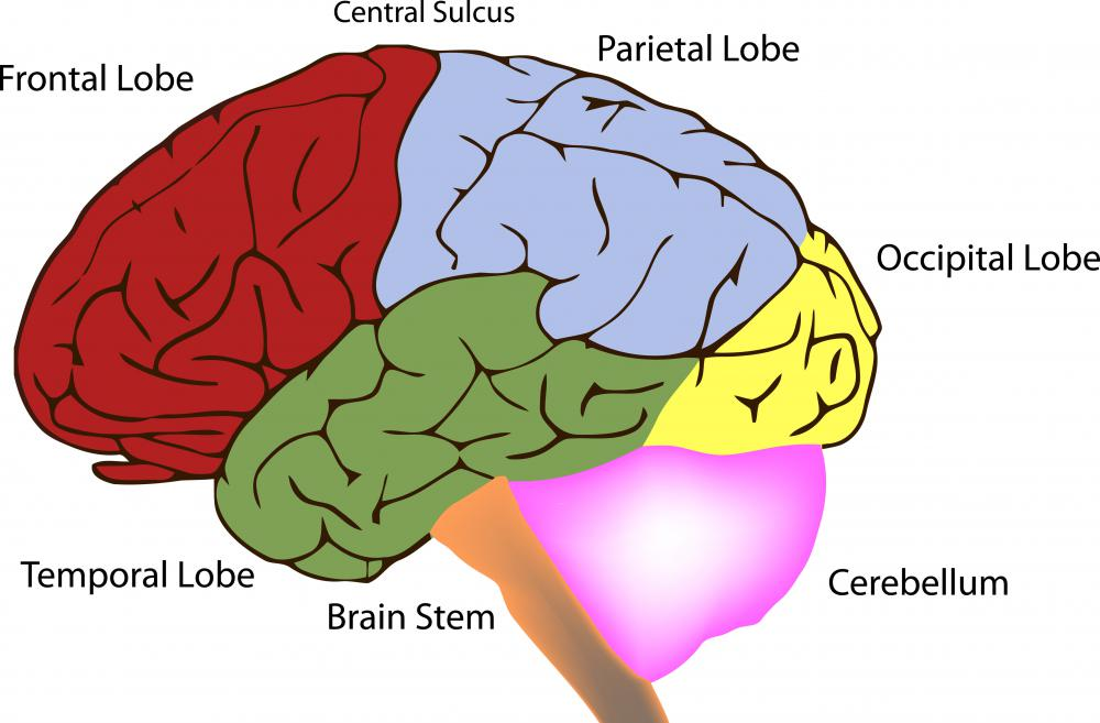 The superior temporal lobe is located on the top of the temporal lobe and spirals around the entire brain.
