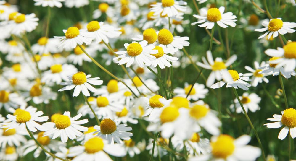 Daisies are a popular autumn flower.