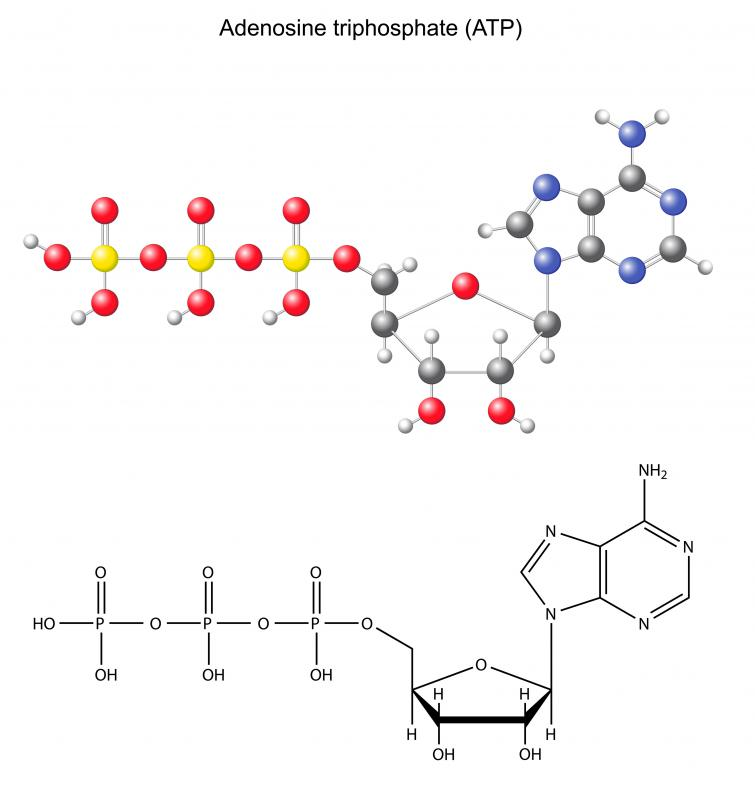 Anaerobic fermentation is part of the process to produce molecules of ATP.