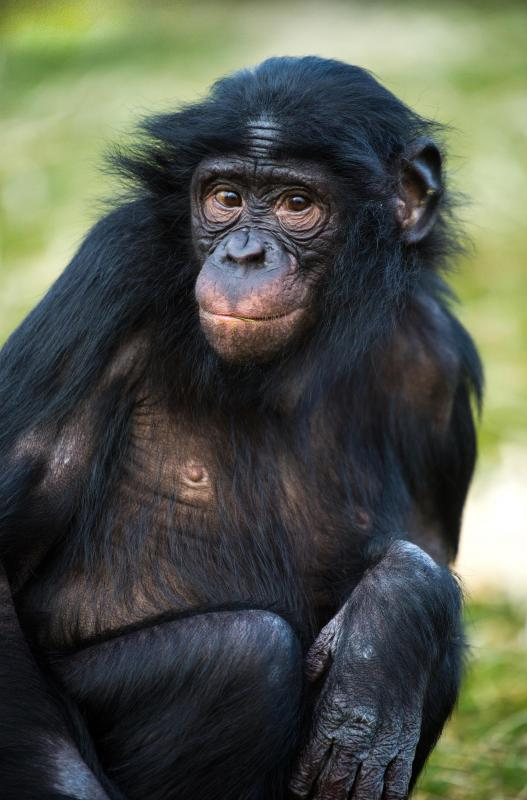 Chimpanzees are primates.