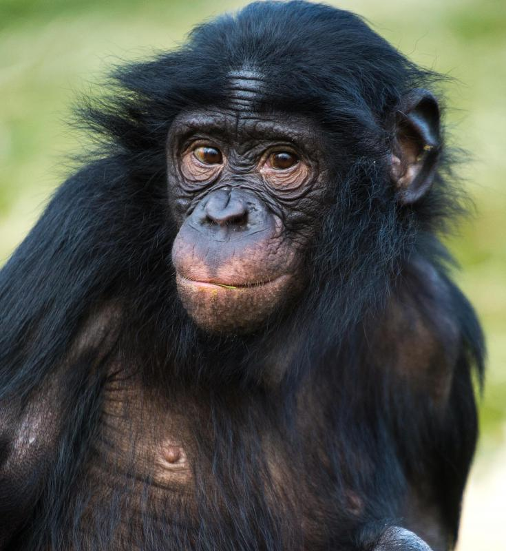 Chimps are very intelligent primates.