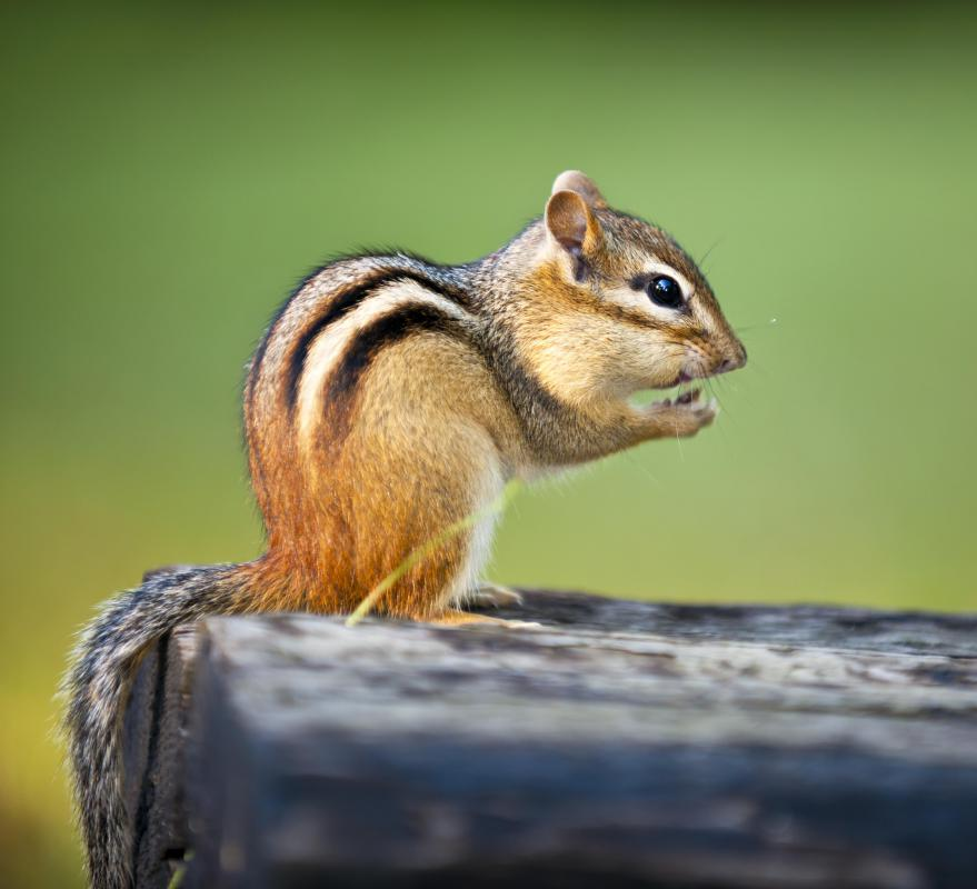 Squirrels and chipmunks collecting large amounts of nuts can be a signal of a harsh winter.