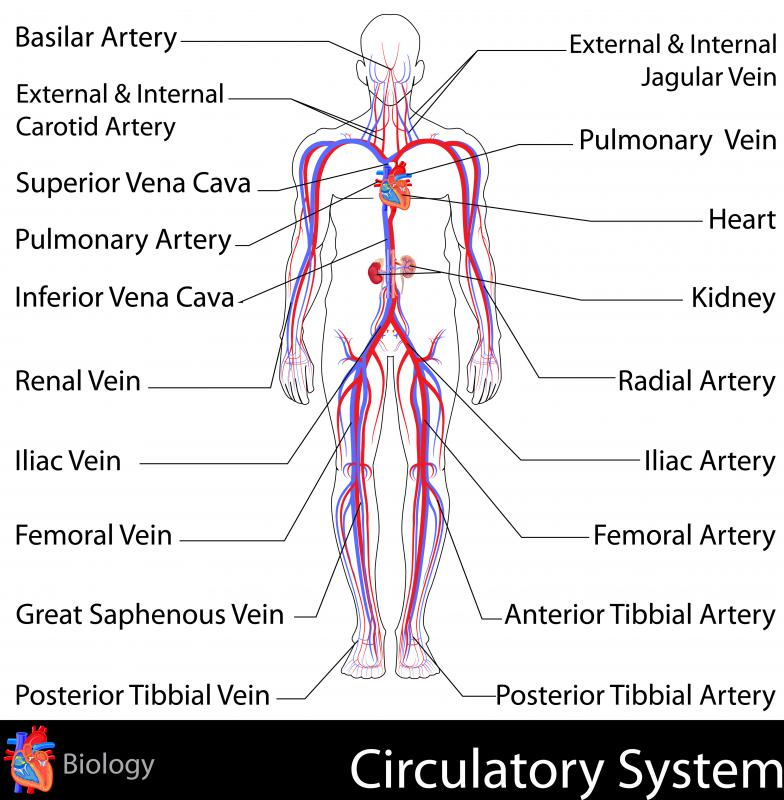 The vena cava is a major blood vessel that transports blood to the right atrium of the heart, where it is re-oxygenated.