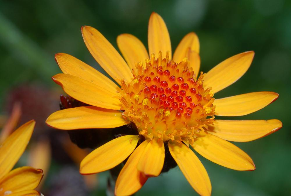 Oral use of arnica is not recommended unless it is very diluted.