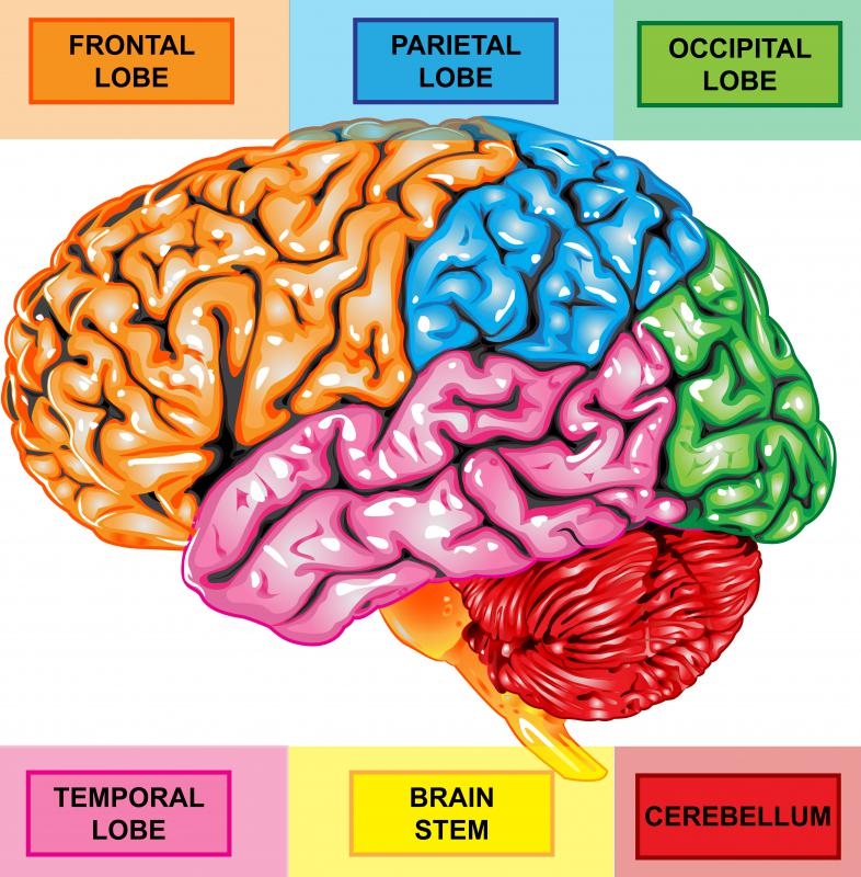 The postcentral gyrus is a ridge of the parietal lobe.