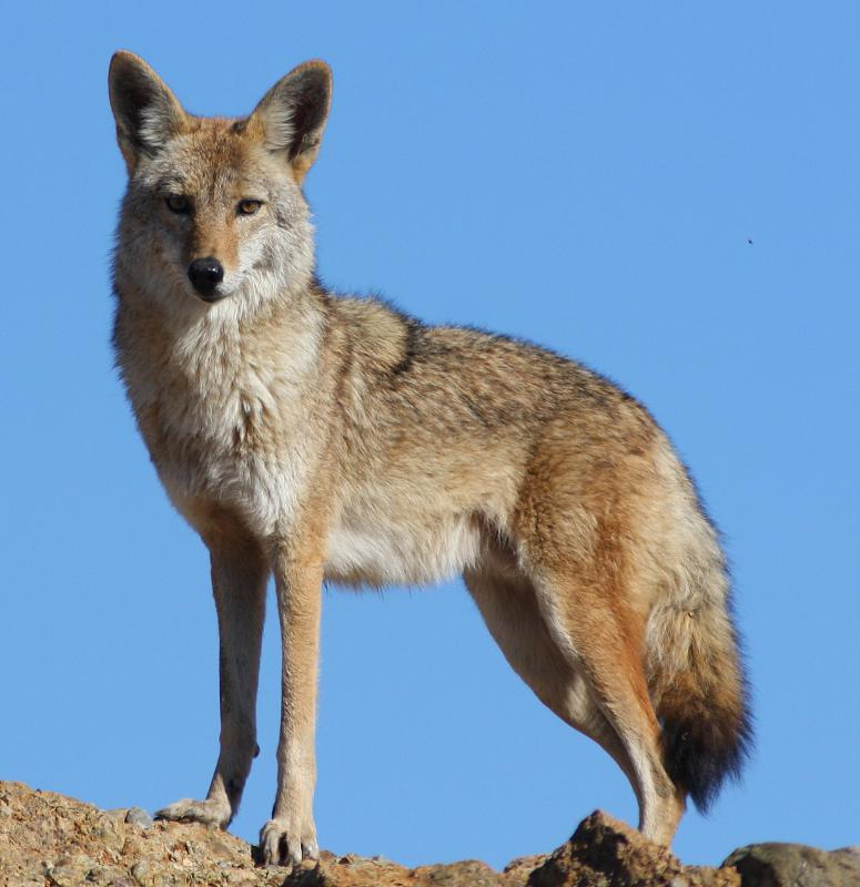 Many Native American tales use the coyote to symbolize a trickster.