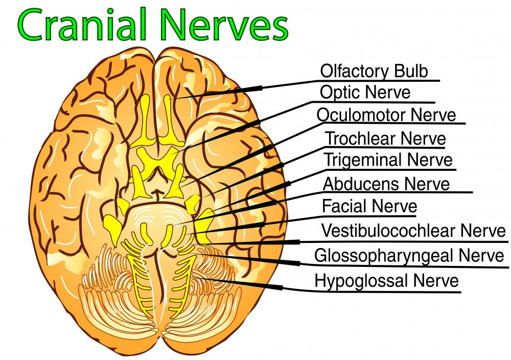 Twelve cranial nerves originate from the brainstem nuclei.