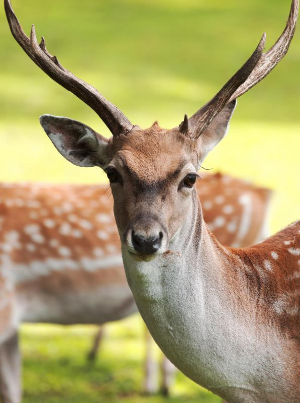 Deer can eat urushiol without harm.