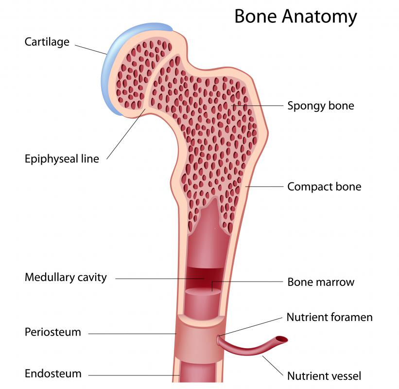 A diagram of the anatomy of a bone, including the marrow.