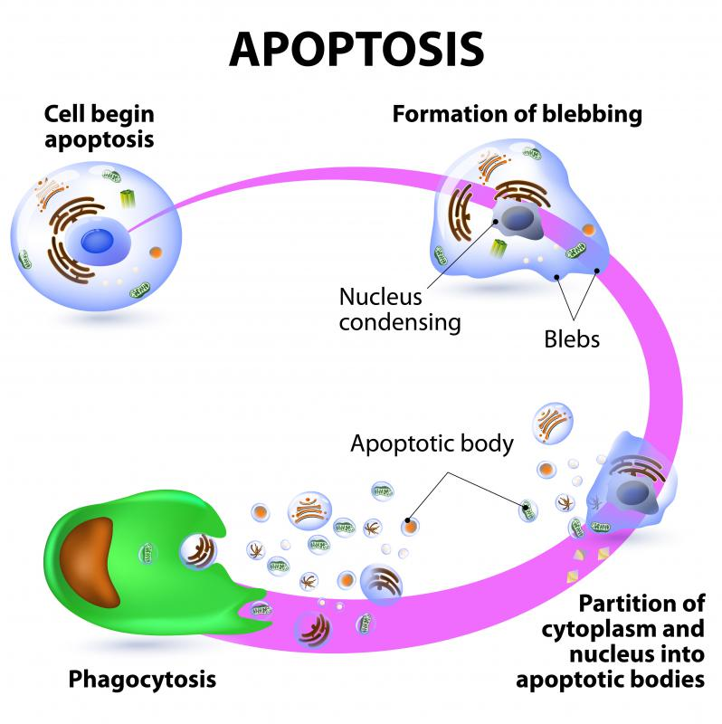 The Golgi anti-apoptotic protein prevents a cell from undergoing apoptosis before its time.