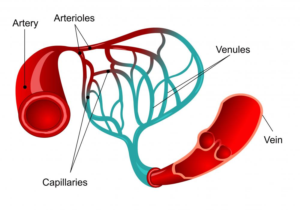 The internal carotids and vertebral arteries are the main blood vessels that supply the brain.