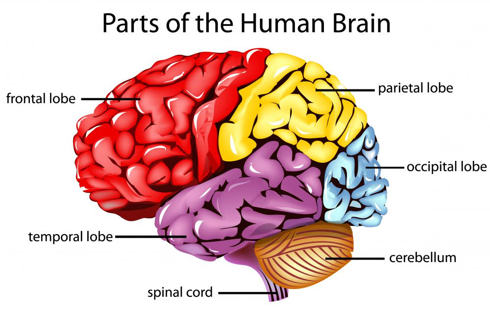 The frontal cortex, or frontal lobe, of the brain is removed or partially damaged in a lobotomy.