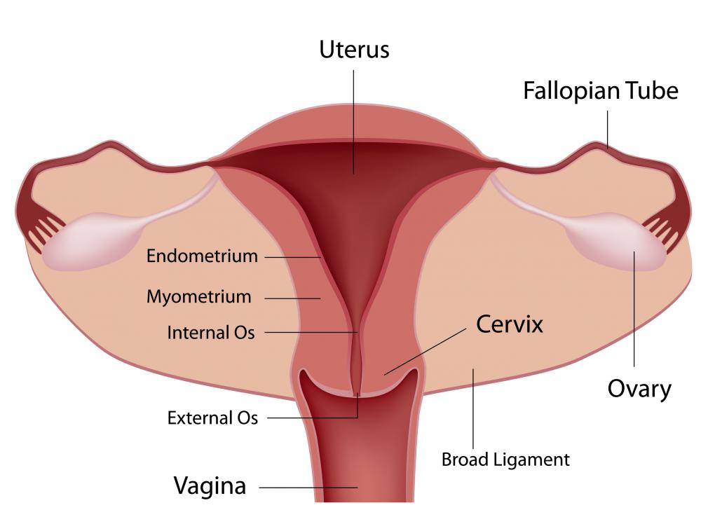 A diagram of the female reproductive system, including the uterine lining.