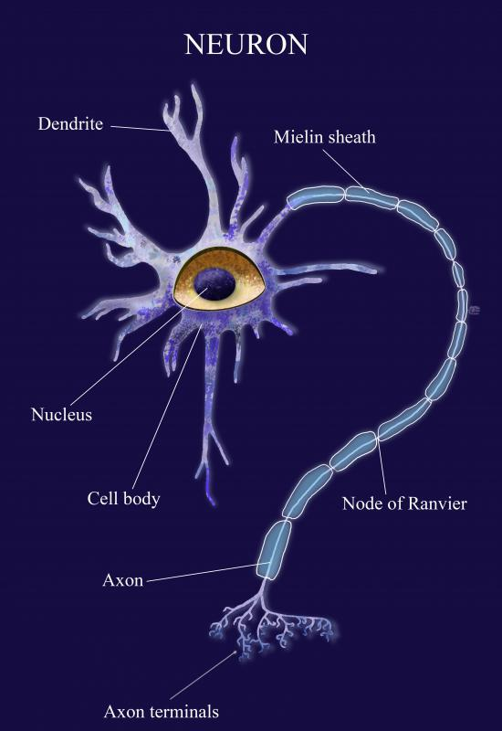 A neuron is composed of the dendrites; the cell body, or soma; and the axon.