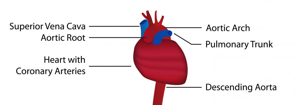 The structure of the aorta, part of the circulatory system.