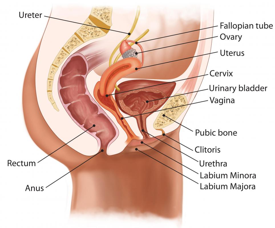 An anus is composed of two parts: the anal canal and the anal verge.