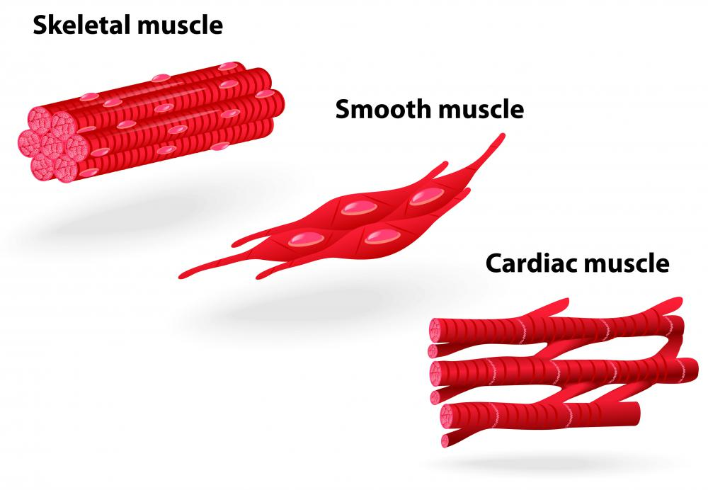 Smooth muscle is one of three types of muscles in the body.