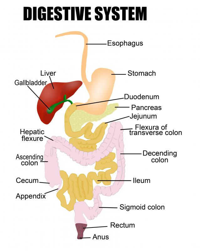 A diagram of the digestive system.
