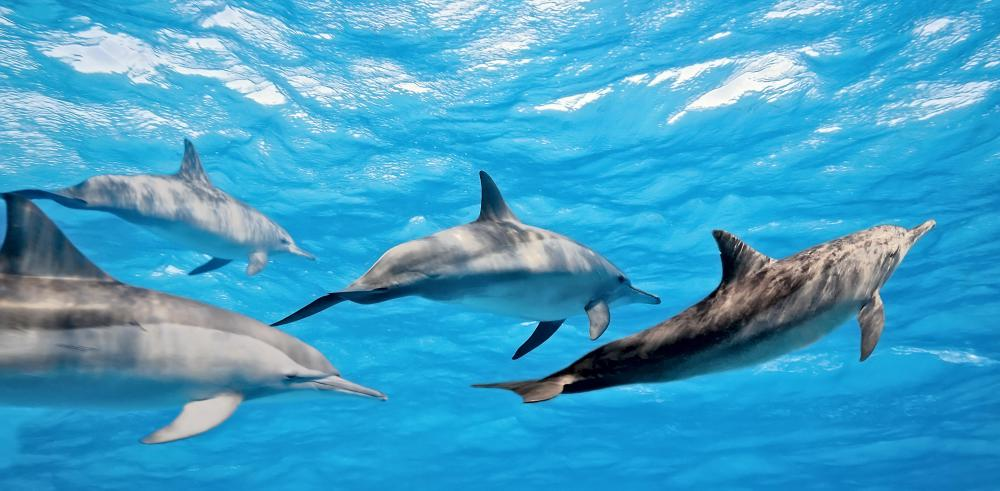 The mirror test indicates that dolphins are conscious.