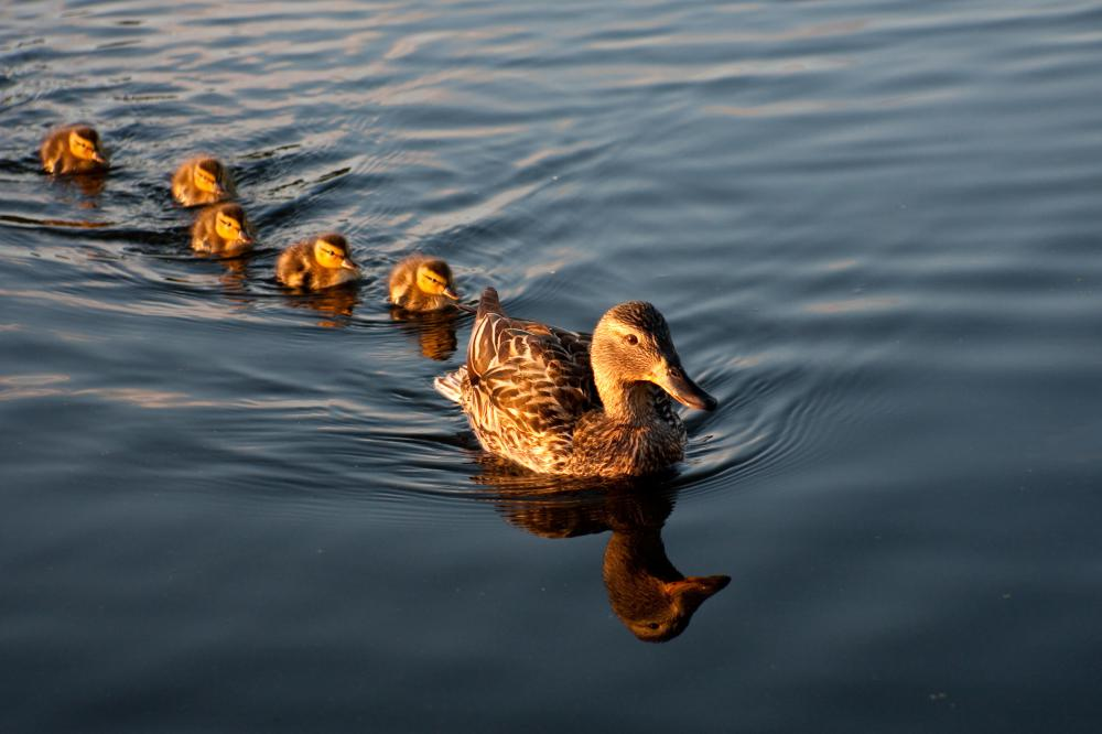 Ducks swimming in a row.