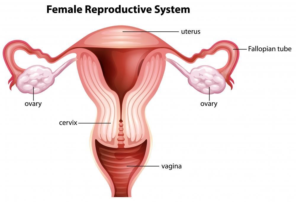 The internal end of the birth canal is known as the vaginal vault.