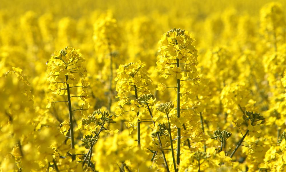 Canola is a strain of rapeseed cultivated to have a lower erucic acid content.
