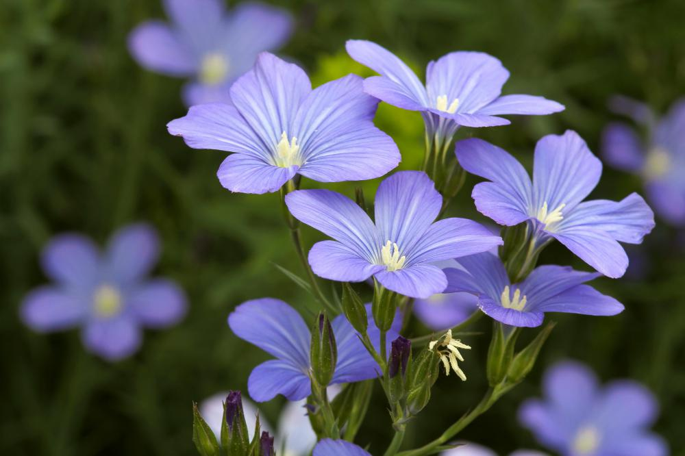 The flowers of a flax plant.