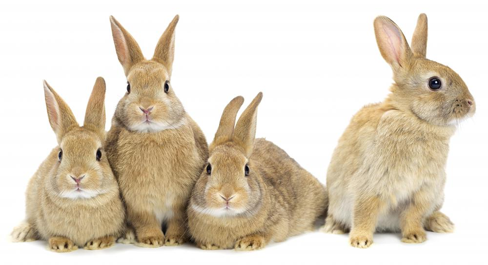 Skin separation injuries are relatively common in rabbits.