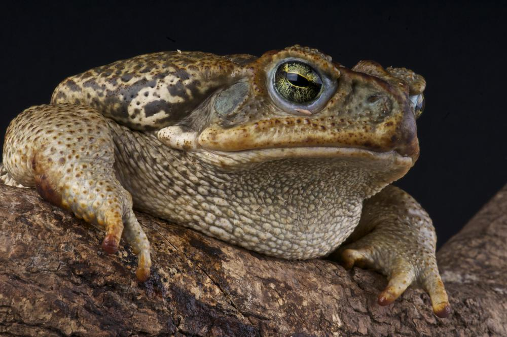 Toads are amphibians.